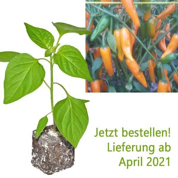 BIO Costeno Amarillo Chili-Pflanze
