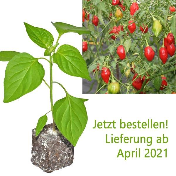 BIO Rainforest Chili-Pflanze