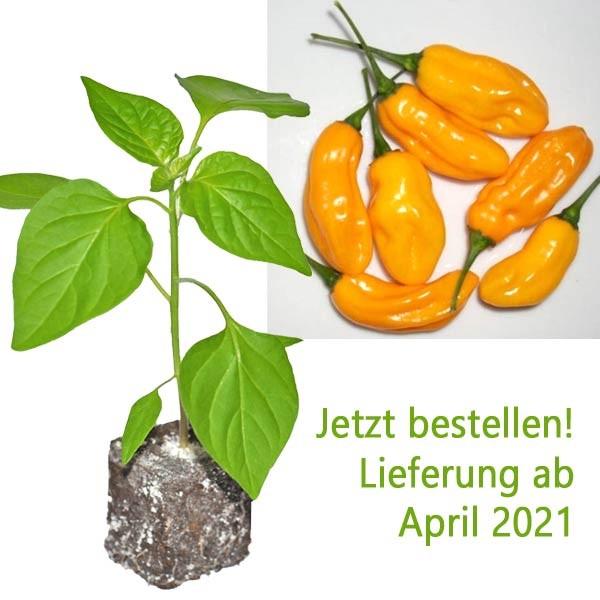 BIO Cumari o Passarinho Chili-Pflanze